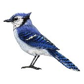 Bluejay Peel and Stick Wall Decal