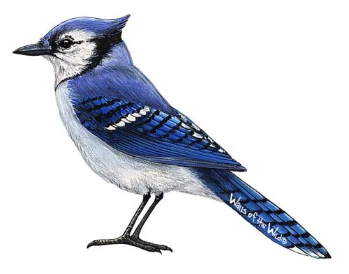 Bluejay Peel and Stick Wall Decal - Wall Sticker Outlet