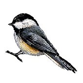 Chickadee Peel and Stick Wall Decal