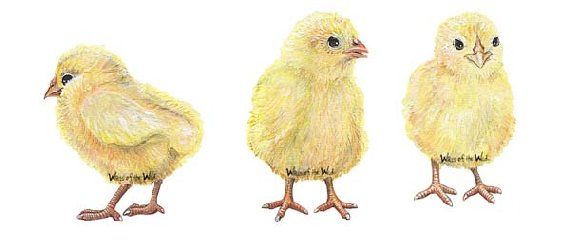 Baby Chicks Peel and Stick Wall Mural - Wall Sticker Outlet
