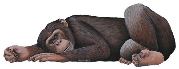 Chimpanzee Peel and Stick Wall Sticker - Wall Sticker Outlet