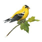 Goldfinch Bird Peel and Stick Wall Decal