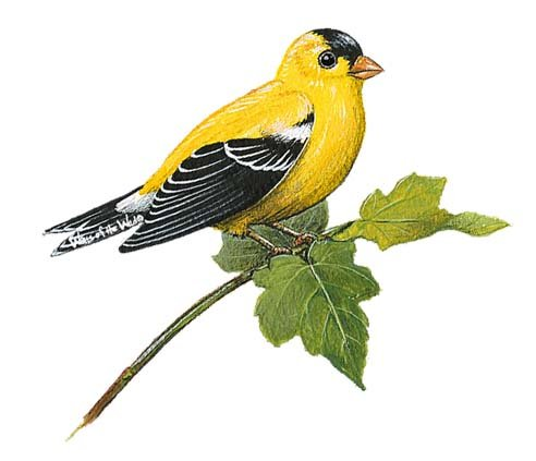 Goldfinch Bird Peel and Stick Wall Decal - Wall Sticker Outlet