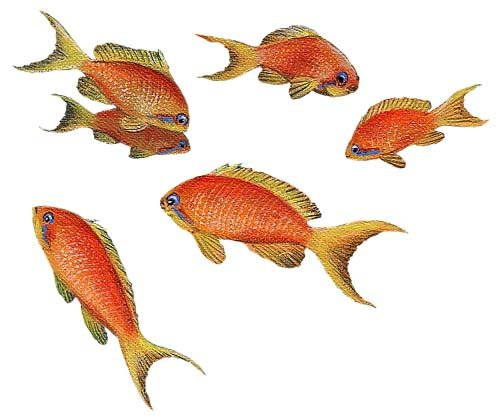 Goldfish Fish Peel and Stick Wall Sticker - Wall Sticker Outlet
