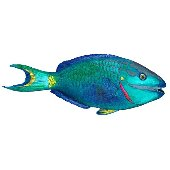 Parrot Fish Peel and Stick Wall Sticker