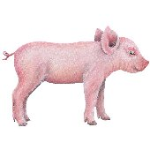 Baby Pig 1 Peel and Stick Wall Mural