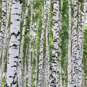 Birches Wall Mural C865
