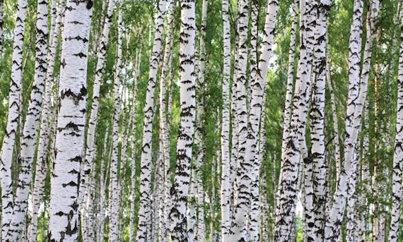 Birches Wall Mural C865 - Wall Sticker Outlet