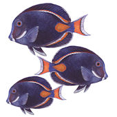 Achilles Tang Fish Peel and Stick Wall Decal