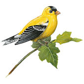 Goldfinch Peel and Stick Decal