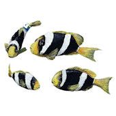 Yellowtail Clownfish Peel and Stick Decals